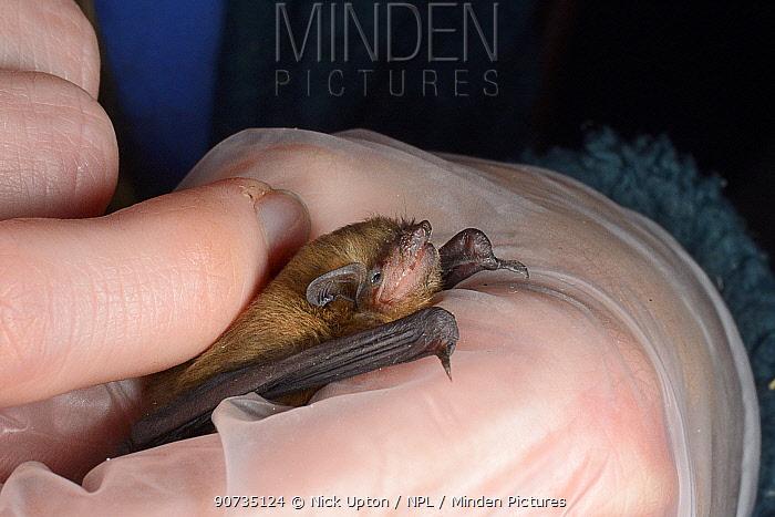 Samanatha Pickering holding and stroking rescued abandoned Soprano pipistrelle bat pup (Pipistrellus pygmaeus) held in hand, North Devon Bat Care, Barnstaple, Devon, UK, August. Model released