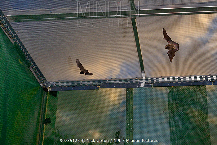 Young Common pipistrelle bats (Pipistrellus pipistrellus) reared in captivity since their rescue as pups, learning to fly and hunt in a flight cage at dusk before being released, North Devon Bat Care, Barnstaple, Devon, UK, August.