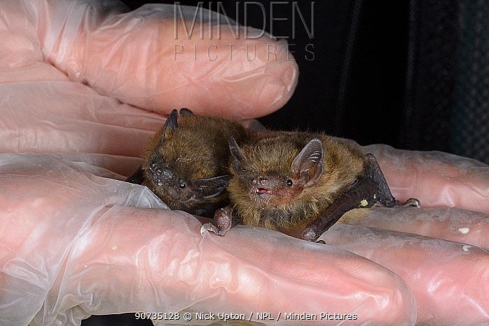 Rescued abandoned Common pipistrelle bat pup (Pipistrellus pipistrellus) held alongside a paler Soprano pipistrelle pup (Pipistellus pygmaeus), North Devon Bat Care, Barnstaple, Devon, UK, August. Model released
