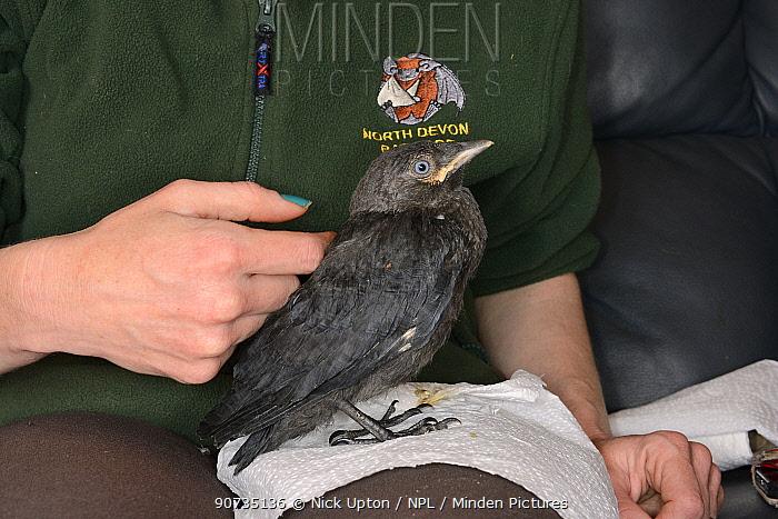 Samantha Pickering stroking a rescued abandoned Jackdaw chick (Corvus monedula) after feeding it, North Devon Bat Care, Barnstaple, Devon, UK, June. Model released