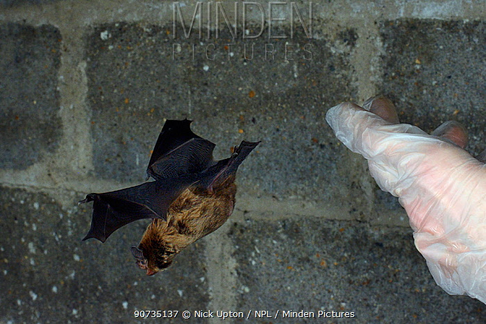 Rescued Leisler's bat / Lesser noctule (Nyctalus leisleri) having its recovery and ability to fly tested in a flight cage at dusk, before being released back to the wild, North Devon Bat Care, Barnstaple, Devon, UK, August. Model released.