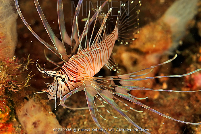 Spotfin lionfish (Pterois antennata) juvenile, Sulu Sea, Philippines
