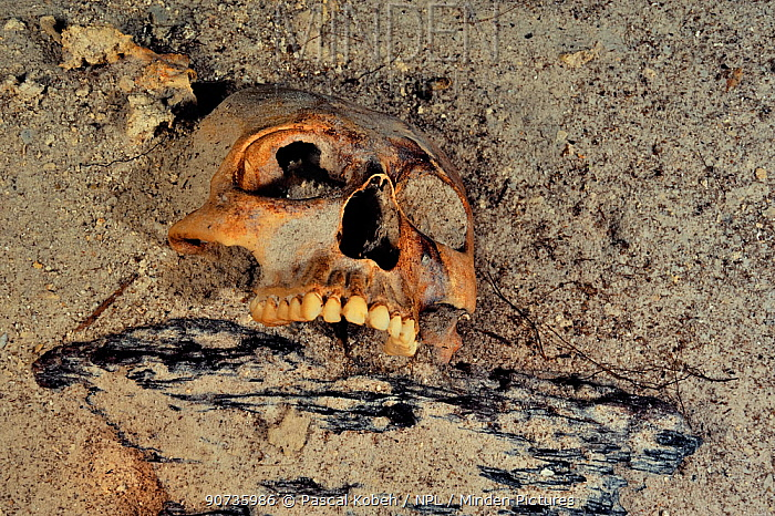 Mayan skull, possibly result of human sacrifice to the gods that the Maya culture made and then threw in cenote, Prehispanic Era, Punta Laguna Cenote, Yucatan peninsula, Mexico