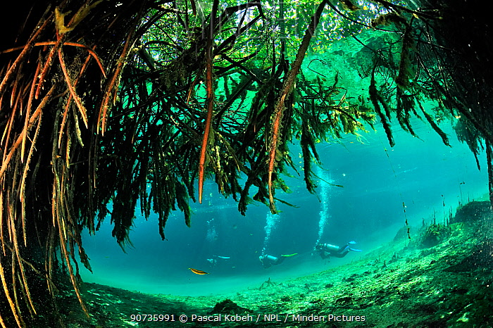 Divers close to the mangroves of Cenote Casa or Manatee which is a cenote close to the sea and  connected to it by a very narrow passage,  Yucatan Peninsula, Mexico
