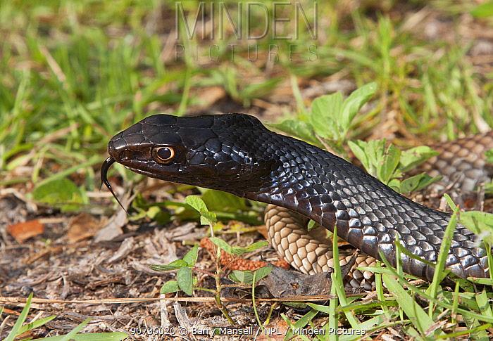 Eastern coachwhip snake (Masticophis flagellum flagellum) North Florida, USA, April.