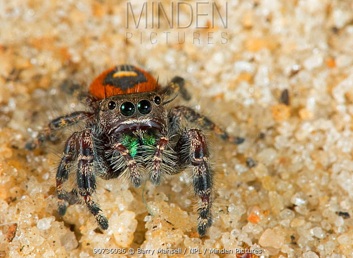 Red beauty jumping spider (Phidippus pulcherrimus) Florida, USA, April.