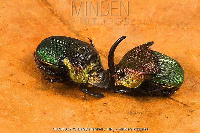 Rainbow scarab (Phanaeus vindex) male and female on leaf. Florida, USA. Controlled conditions.