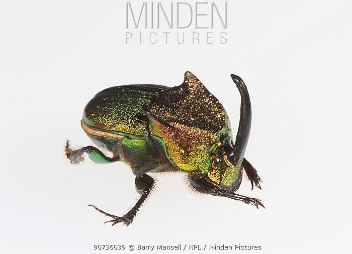 Rainbow scarab (Phanaeus vindex) male on white background. Florida, USA. Controlled conditions.