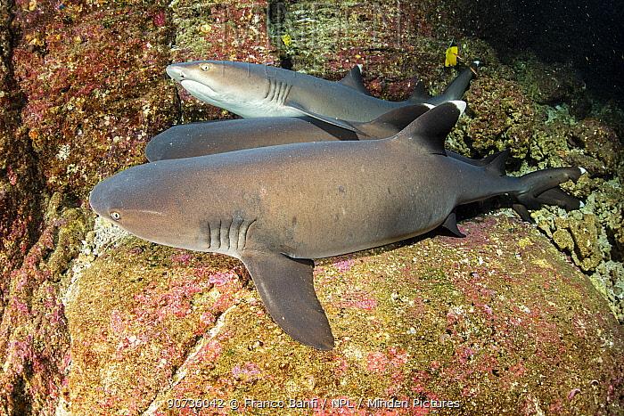 Whitetip reef sharks (Triaenodon obesus) resting on the sea floor, Roca Partida close to San Benedicto Island, Revillagigedo Archipelago Biosphere Reserve, Socorro Islands, Western Mexico