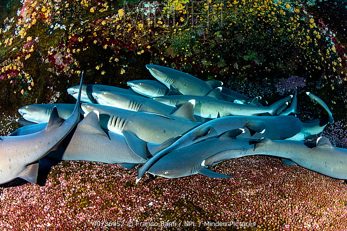 Whitetip reef sharks (Triaenodon obesus) resting on sea floor, Roca Partida close to San Benedicto island, Revillagigedo Archipelago Biosphere Reserve, Socorro Islands, Western Mexico