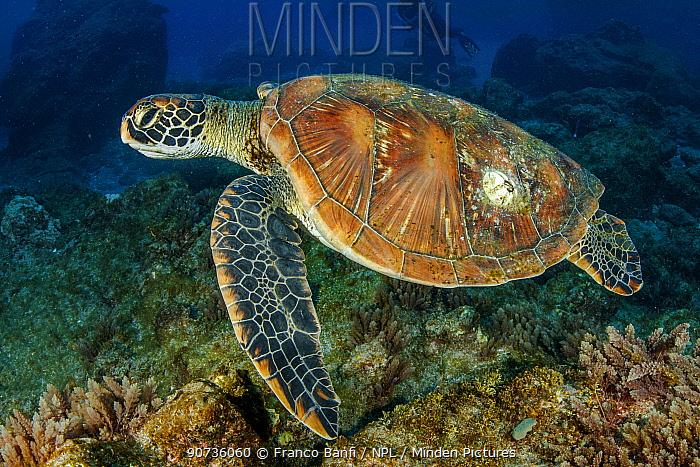 Green sea turtle (Chelonia mydas) Revillagigedo Archipelago Biosphere Reserve, Socorro Islands, Western Mexico