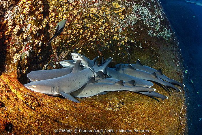 Whitetip reef sharks (Triaenodon obesus) group resting in coral reef, Roca Partida close to San Benedicto island, Revillagigedo Archipelago Biosphere Reserve, Socorro Islands, Western Mexico