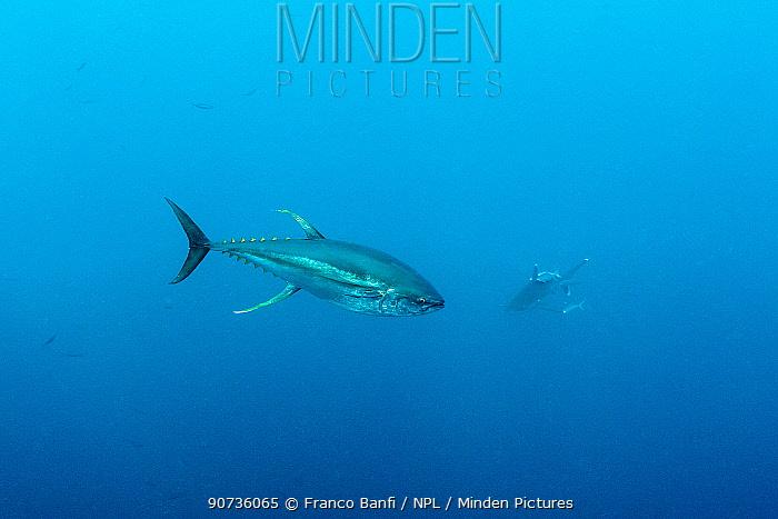 Yellowfin tuna (Thunnus albacares)? with shark in background, Roca Partida close to San Benedicto island, Revillagigedo Archipelago Biosphere Reserve, Socorro Islands, Western Mexico