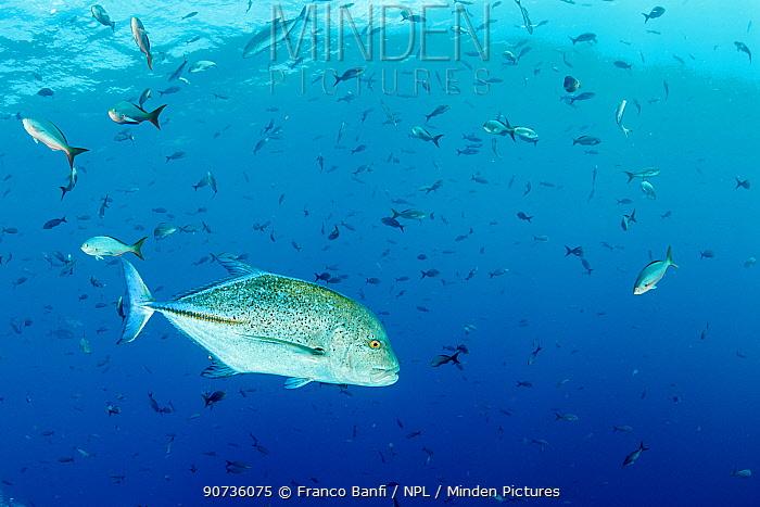 Bluefin trevally (Caranx melampygus) El Boiler dive place, San Benedicto Island, Revillagigedo Archipelago Biosphere Reserve, Socorro Islands, Western Mexico