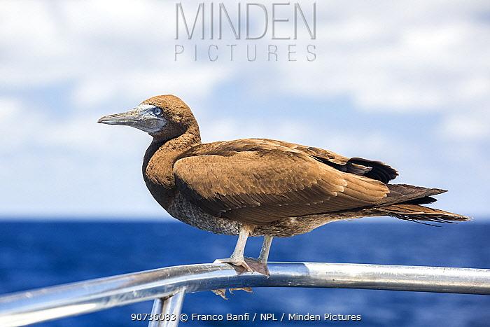 Brown booby (Sula leucogaster) on boat rail, San Benedicto, Revillagigedo Archipelago Biosphere Reserve, Socorro Islands, Western Mexico