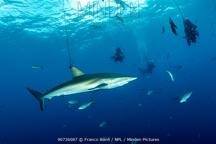 Silky shark (Carcharhinus falciformis) under the boat with divers doing decompression, San Benedicto Island, Revillagigedo Archipelago Biosphere Reserve, Socorro Islands, Western Mexico