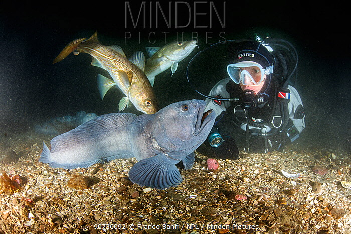 Scuba diver with Wolf eel (Anarrhichthys ocellatus) and Atlantic cod (Gadus morhu) Little Strytan dive site, Eyjafjordur nearby to Akureyri, northern Iceland, North Atlantic Ocean.