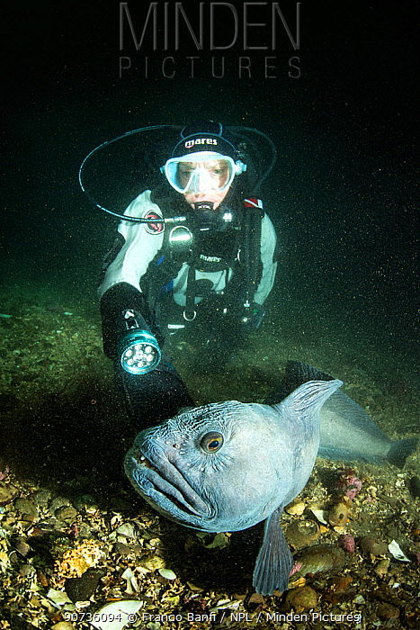 Scuba diver with Wolf eel (Anarrhichthys ocellatus) Little Strytan dive site, Eyjafjordur nearby to Akureyri, northern Iceland, North Atlantic Ocean.