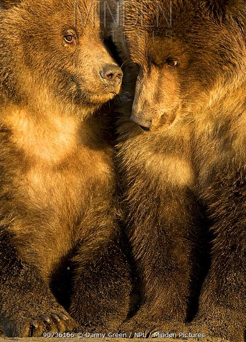 Coastal brown bear cubs (Ursus arctos) resting, Lake Clarke National Park, Alaska, September
