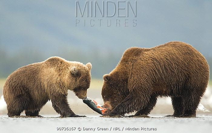 Coastal brown bears (Ursus arctos) juvenile trying to get fish from adult,  Lake Clarke National Park, Alaska, September