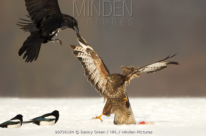 Buzzard (Buteo buteo) and Raven (Corvus corax) fighting, Poland, February.