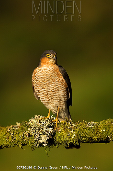 Sparrowhawk (Accipiter nisus) male on a perch, Scotland, February