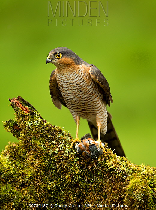Sparrowhawk (Accipiter nisus) feeding on a perch, Scotland, April