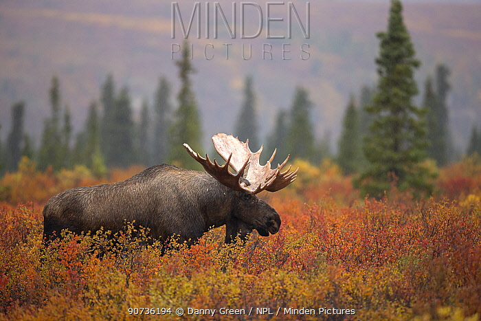 Moose Bull (Alces alces) walking in forest clearing, Denali National Park, USA, September