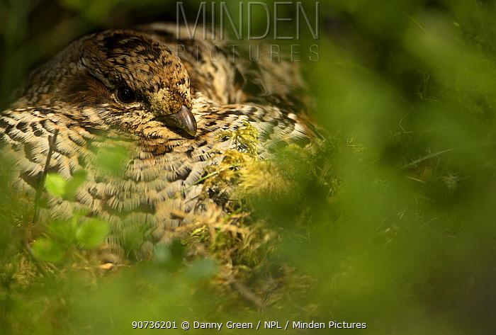 Hazel grouse (Tetrastes bonasia), hidden in vegetation, Finland, June.