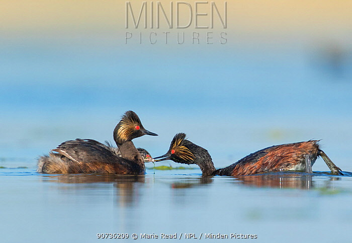 Eared grebes (Podiceps nigricollis), pair, one adult feeding chick riding on the other adult's back, Bowdoin National Wildlife Refuge, Montana, USA