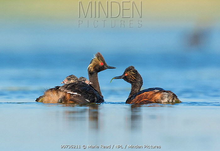 Eared grebes (Podiceps nigricollis), pair, one adult carrying food (damselfly) for two chicks riding on the other adult's back, Bowdoin National Wildlife Refuge, Montana, USA