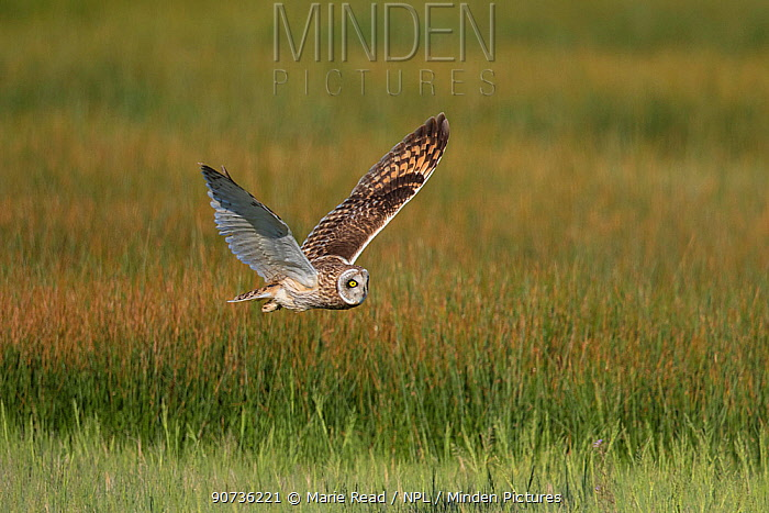 Short-eared Owl (Asio flammeus) male in flight over wet meadow, northern Utah, USA, May.