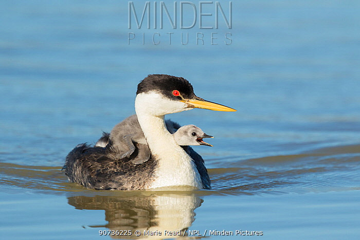 Western grebe (Aechmophorus occidentalis) adult with begging chick riding on its back, peeking out from behind adult's neck, Bear River Migratory Bird Refuge, Utah, USA, May.