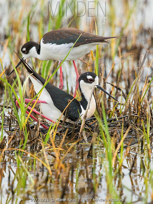 Black-necked Stilt (Himantopus mexicanus) pair building nest in shallow wetland, male in foreground in squatting and pushing backwards with his feet/legs  to form a nest scrape in vegetation the pair has gathered, Bear River Migratory Bird Refuge, Utah, USA, May.