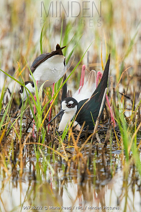 Black-necked sStilt (Himantopus mexicanus) pair building nest in shallow wetland: male in foreground is squatting and pushing backwards with his feet/legs  to form a nest scrape in vegetation the pair has gathered, Bear River Migratory Bird Refuge, Utah, USA, May., May.