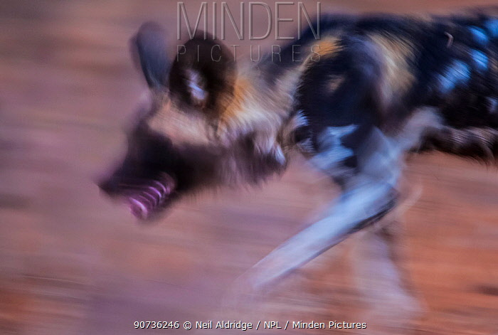 African wild dog (Lycaon pictus) blurred motion photograph, Save Valley Conservancy, Zimbabwe.