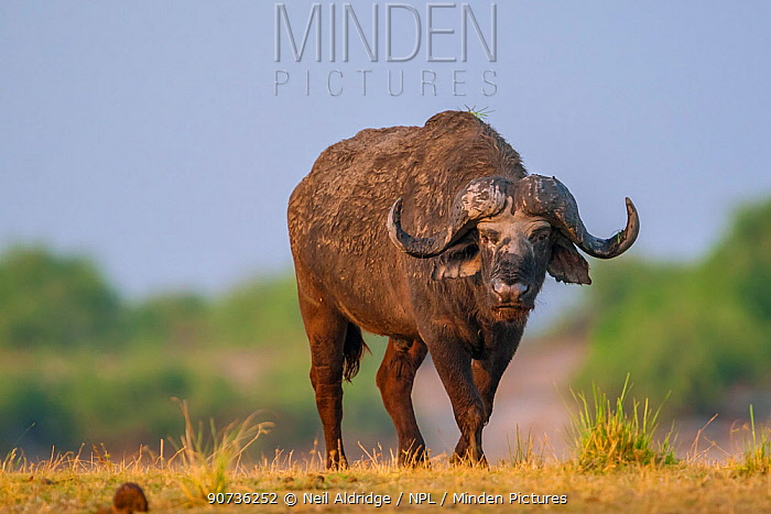 African buffalo (Syncerus caffer) standing on the banks of the Chobe River, Chobe National Park, Botswana.