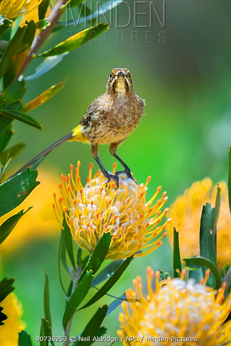 Cape sugarbird (Promerops cafer) on Pincushion protea (Leucospermum sp) in the Cape Floral Kingdom, Cape Town, South Africa. Endemic.