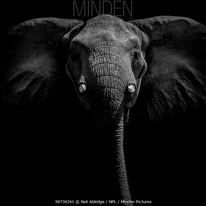 Portrait of an African elephant (Loxodonta africana) on Selinda Reserve, Botswana.