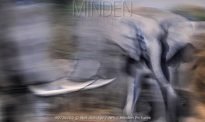 African elephants (Loxodonta africana) herd approaching a waterhole on Northern Tuli Game Reserve, Botswana. Vulnerable species.