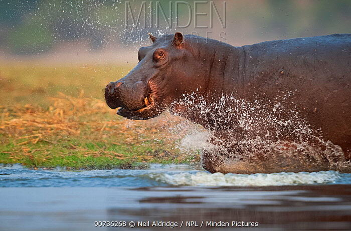 Hippopotamus (Hippopotamus amphibius) charging through the shallows, Chobe River, Chobe National Park, Botswana. Vulnerable species.