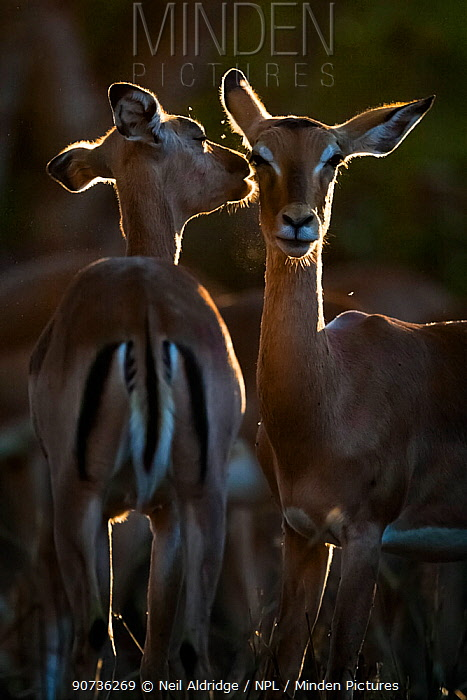 Two Impalas (Aepyceros melampus) ewes grooming each other in evening light on South Africa's Kruger National Park.