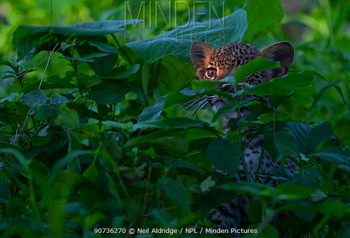 Leopard (Panthera pardus) cub peering out from thick vegetation in the heart of Chief's Island, Okavango Delta. Botswana