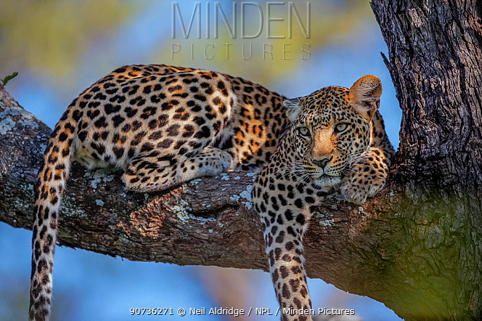 Leopard (Panthera pardus) female resting on the branch of a tree in the heart of Chief's Island, Okavango Delta, Botswana. Vulnerable species. The leopard is classified as vulnerable by the IUCN and is in decline.