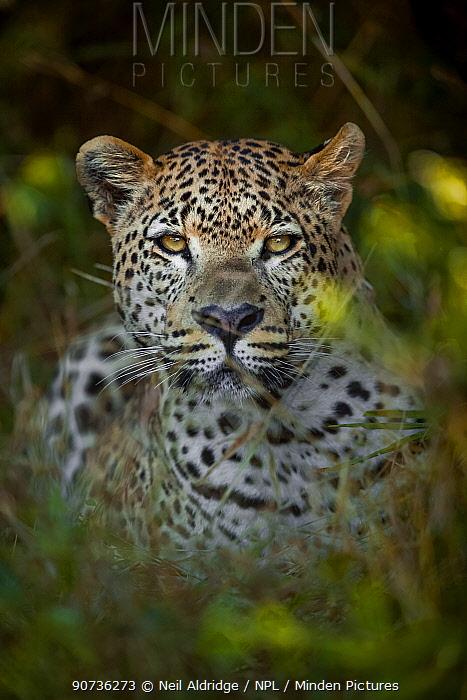 Leopard (Panthera pardus) male in vegetation, Chief's Island, Okavango Delta, Botswana. Vulnerable species.