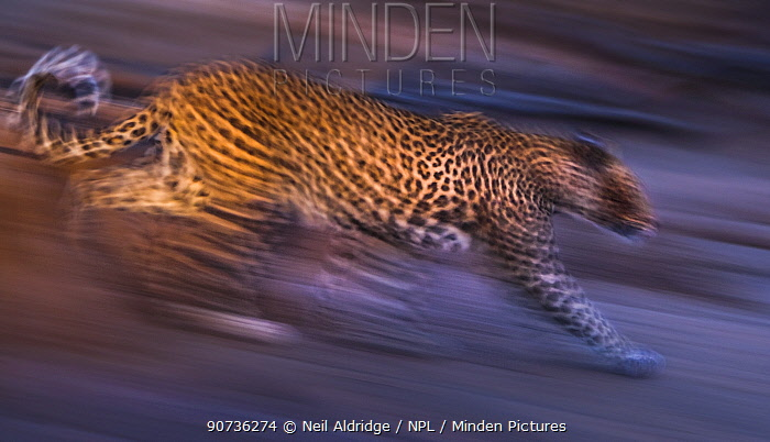 Leopard (Panthera pardus) charging down a dry riverbank during an evening hunt, Northern Tuli Game Reserve, Botswana. November.