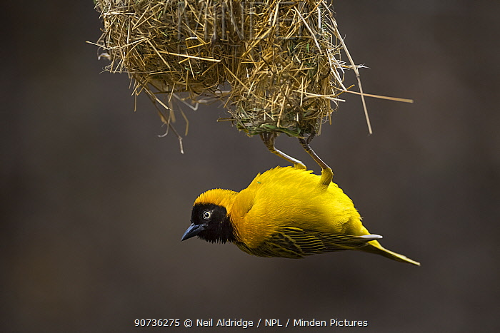 Lesser masked weaver (Ploceus intermedius) male hanging upside down from the entrance, Northern Tuli Game Reserve, Botswana.