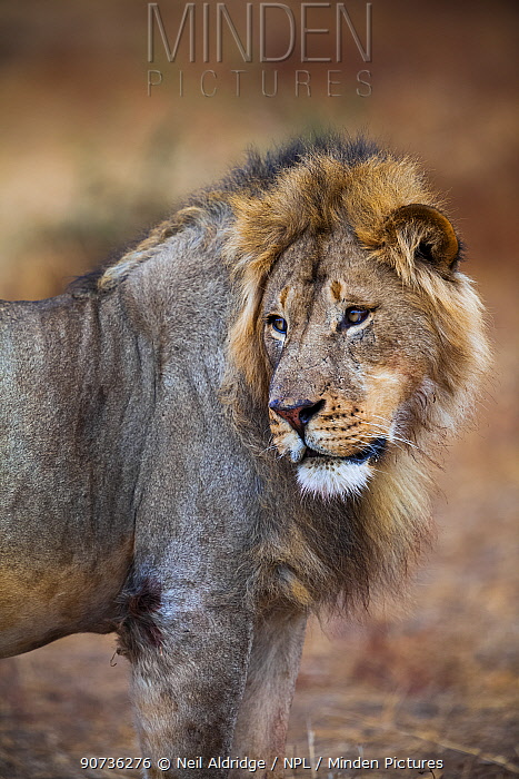 African lion (Panthera leo) male glancing over its shoulder on Northern Tuli Game Reserve, Botswana. Vulnerable species. This lion was shot illegally by South African farmers shortly after the photographer took this photograph.