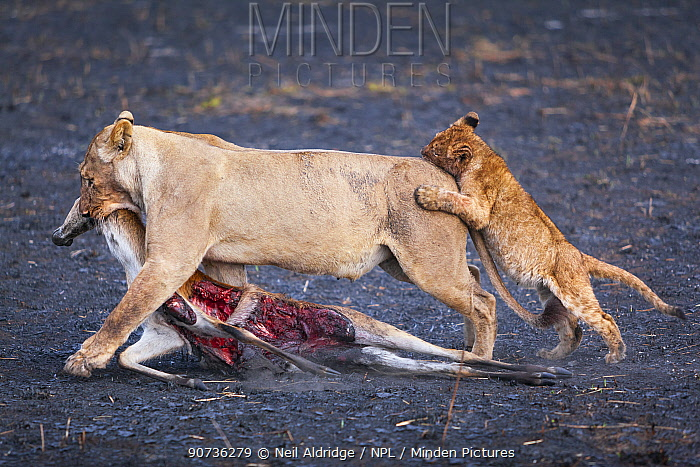 Lion cub (Panthera leo) playfully attacking its mother as she drags her puku antelope prey across burnt Busanga Plains, Kafue National Park, Zambia. Vulnerable