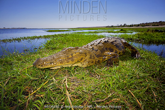 Nile crocodile (Crocodylus niloticus) resting in the sun on a grassy island in the middle of the Chobe River, northern Botswana.
